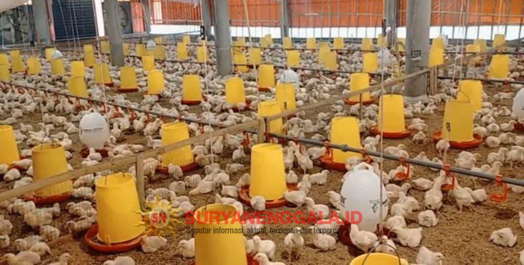 Tegangan listrik Tidak Stabil, Peternak Ayam Mengeluh dan Resah